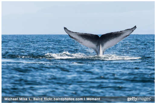 Californian Blue Whales are almost back to historical levels after whaling bans in their range.